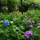 藤森神社の第2紫陽花苑