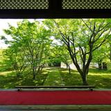 妙覚寺の青もみじ