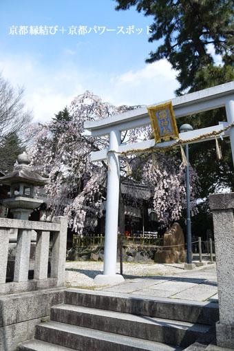 縣神社の枝垂桜