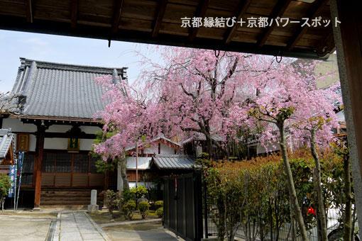 愛染寺の枝垂桜