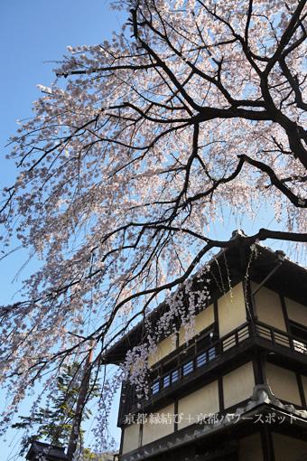 産寧坂明保野亭の桜
