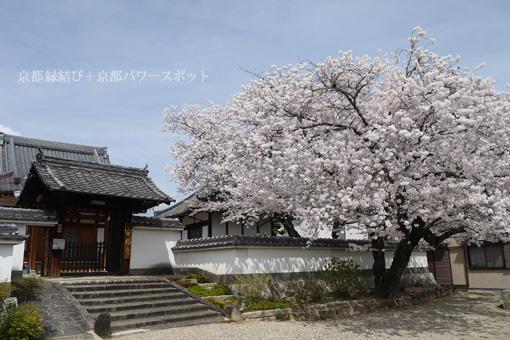 安福寺の桜