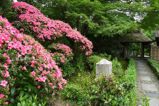 京都 安楽寺のサツキ
