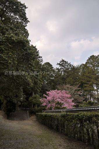 安祥寺の桜