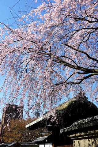 旧有栖川邸の枝垂桜