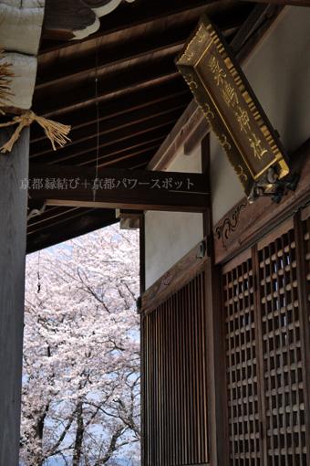 亀岡 粟嶋神社の桜