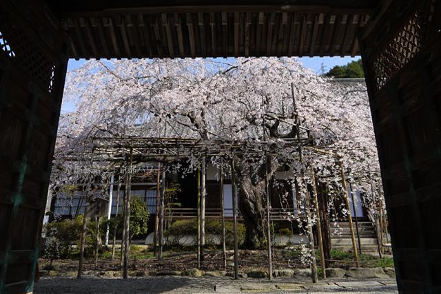 山科毘沙門堂の枝垂桜