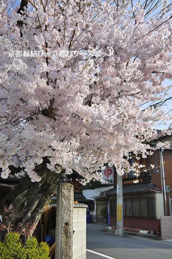 山科 佛光寺旧址の桜
