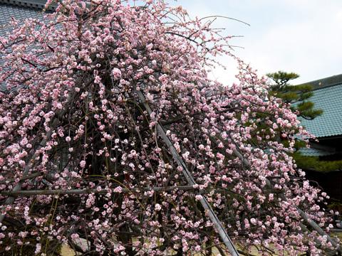 智恵光院の枝垂れ梅