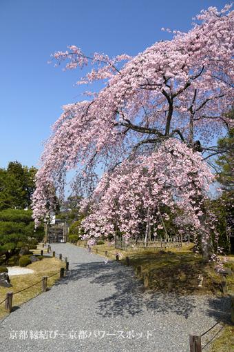知恩院友禅苑の枝垂桜