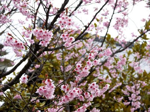 知恩寺のふじ桜