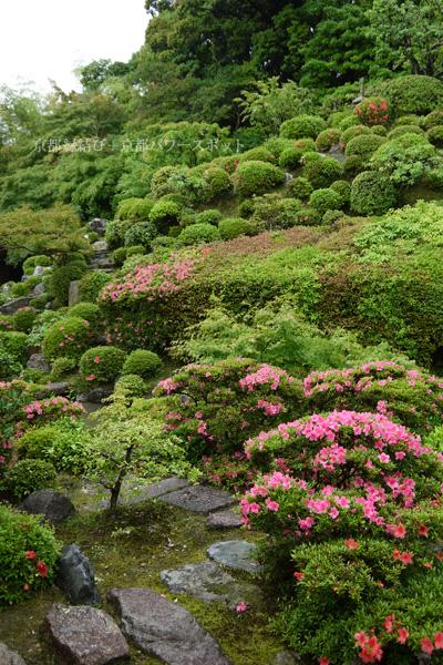 京都 智積院のサツキ