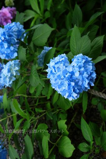 長福寺のハートの紫陽花