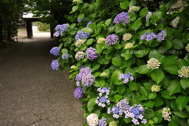 長福寺の紫陽花