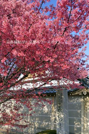 長徳寺の桜