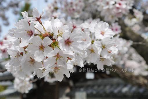 大智寺の桜