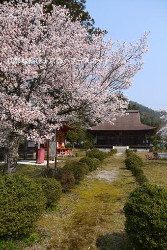 大福光寺の桜