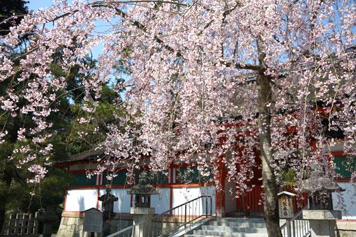 大元宮の幽斎桜