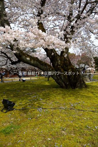 醍醐寺霊宝館のしだれ桜