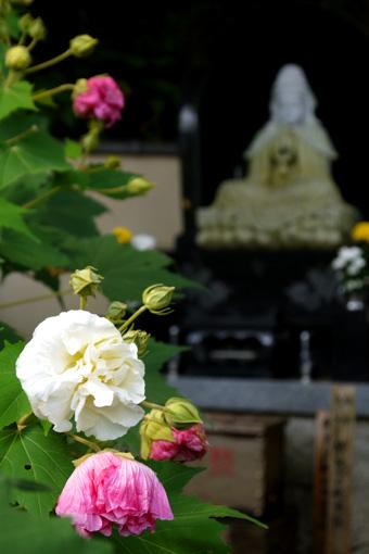 大乗寺の酔芙蓉