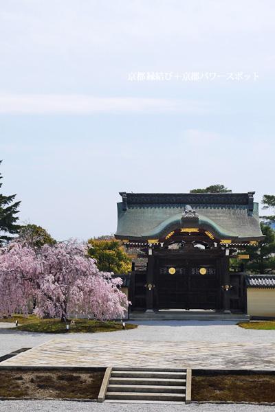 大覚寺の桜