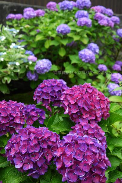 大善寺の紫陽花