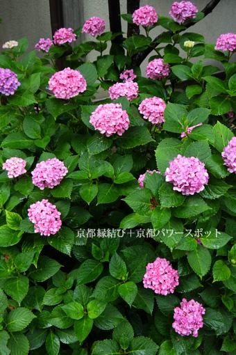 檀王法林寺の紫陽花