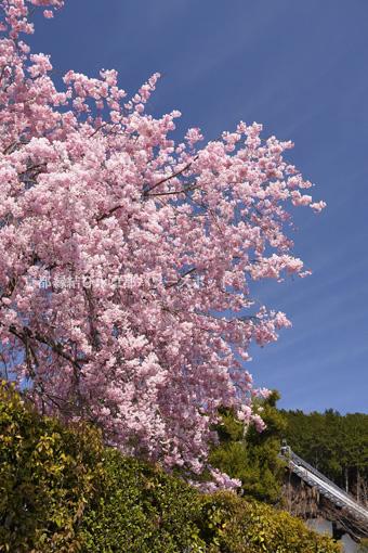 圓光寺 枝垂桜