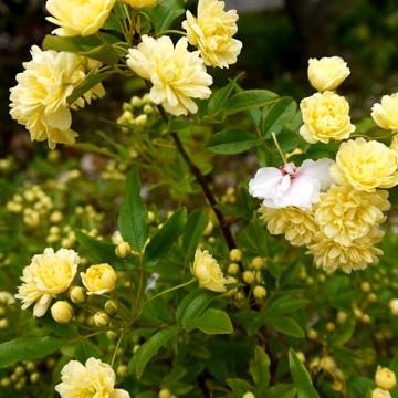 千本えんま堂の普賢象桜