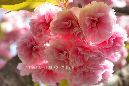 千本えんま堂の八重桜