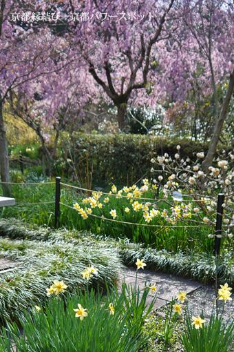 恵心院の桜