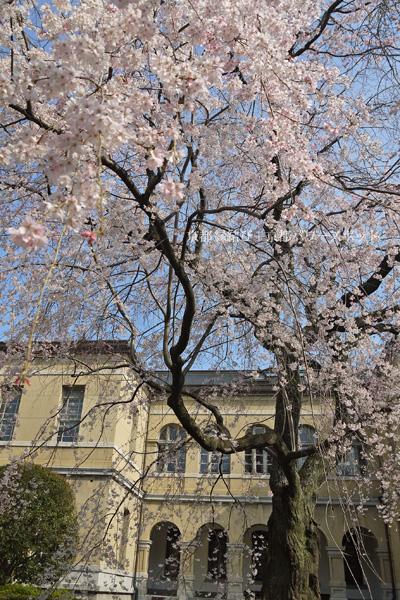 京都府庁旧本館の枝垂桜
