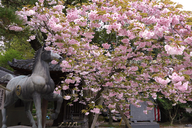 藤森神社の八重桜