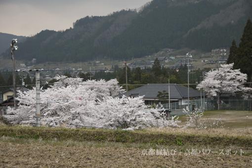 藤森神社の桜