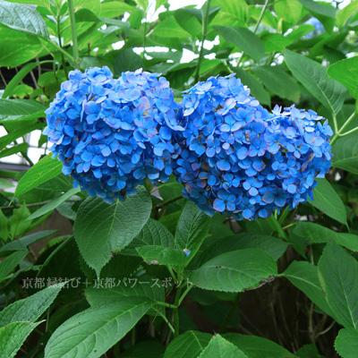 藤森神社のハートの紫陽花