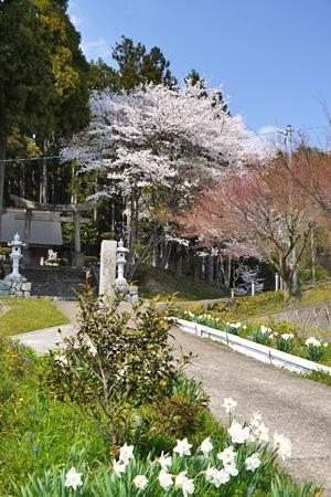 富士位大龍社の桜