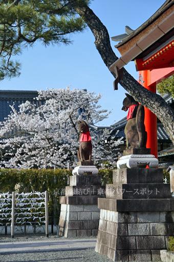 伏見稲荷の桜