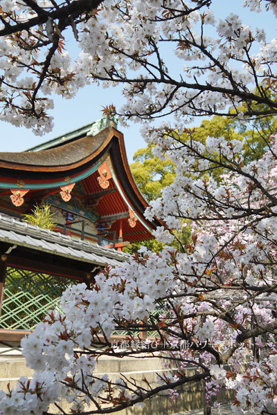 御香宮神社の桜