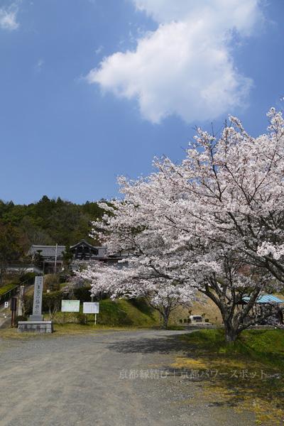 白道路 極楽寺の桜