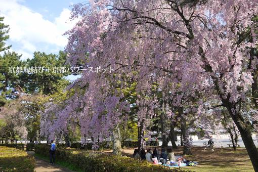 京都御苑の紅枝垂桜