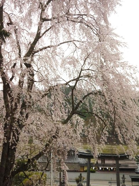 八幡宮社の枝垂桜