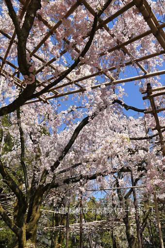 平安神宮の枝垂桜