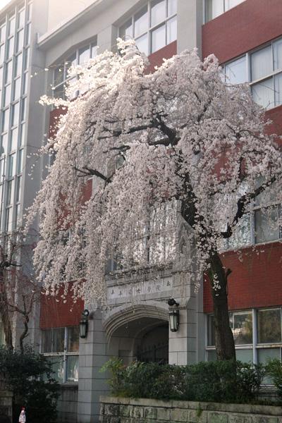 平安女学院の枝垂桜