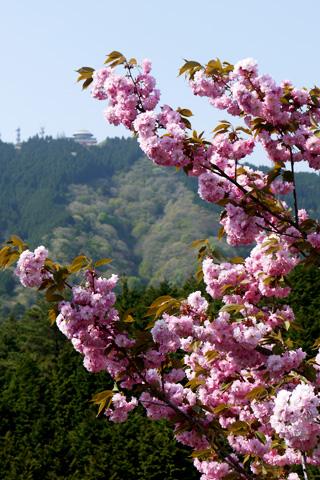 比叡山の八重桜