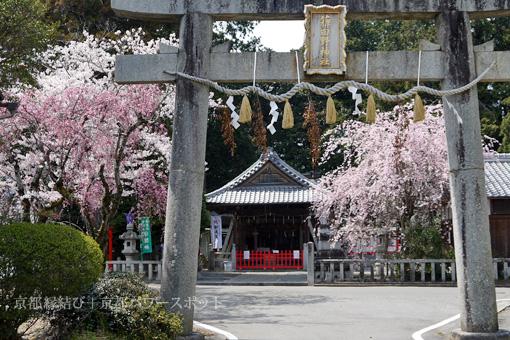 稗田野神社の桜