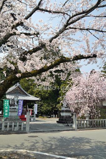 ひえだの神社の桜