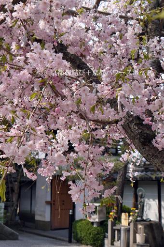 法住寺の桜