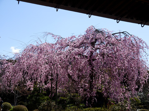法金剛院 待賢門院桜