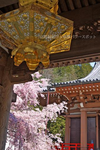 本圀寺の桜