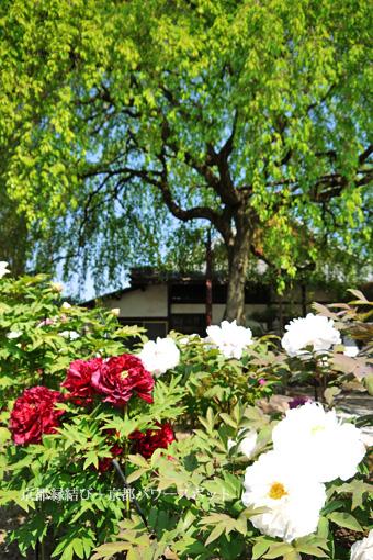 本満寺の牡丹